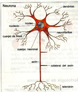 Neuronas y tipos